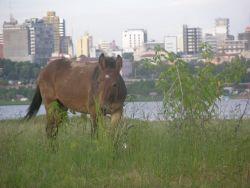 Asuncion Mule (Equus) Image