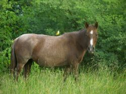Cattle Tyrant Perched on Horse Photo
