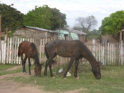 Malnourished Horses Photo