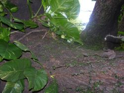 Asuncion Garden Plant (Philodendron sp.) Image