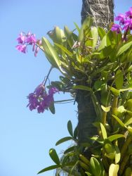 Orchid (Cattleya sp.) in Asunction Garden Photo