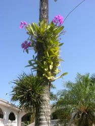 Orchid (Cattleya sp.) in Asunction Garden Photo