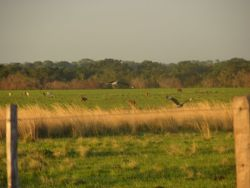 Southern Crested Caracaras Flying Away in Pasture Photo