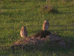 Burrowing Owls Perched on Ground Near Burrow Image