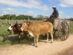 Oxen pulling cart Photo