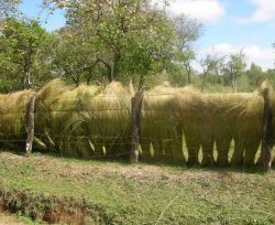 Thatch grasses drying in the sun, second photo Photo
