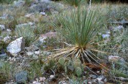 Adam's Needle (Yucca filamentosa) Photo