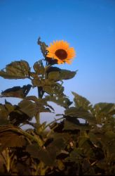 Sunflower (Helianthus annuus) Photo