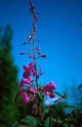 Fireweed (Epilobium angustifolium) Photo