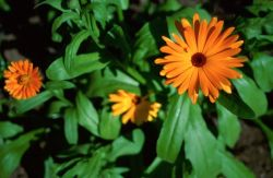 Pot Marigold (Calendula officinalis) Photo