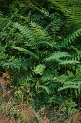 Tree of Heaven (Ailanthus altissima) Image