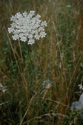 Queen Anne's Lace (Daucus carota) Photo