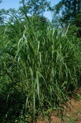 Johnson Grass (Sorghum halepense) Photo