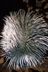 Hawai'i Silversword (Argyroxiphium sandwicense) Photo