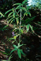 Blue Ginger (Dichorisandra thyrsiflora) Photo