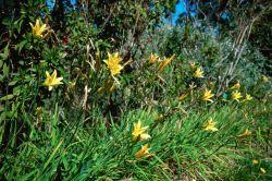 Yellow Daylily (Hemerocallis lilioasphodelus) Photo