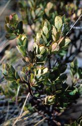 Aiakanene (Coprosma ernodeoides) Image