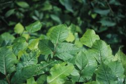 Poison Ivy (Toxicodendron radicans) Photo