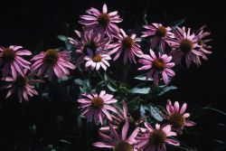 Purple Coneflower (Echinacea purpurea) Photo
