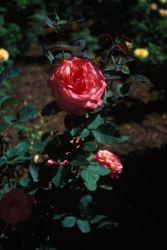 Kaleidoscope Floribunda Rose (Rosa sp.) Photo