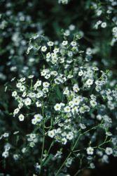 Flowering Spurge (Euphorbia corollata) Photo
