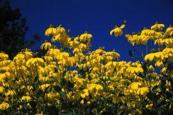 Shining Coneflower (Rudbeckia nitida) Photo