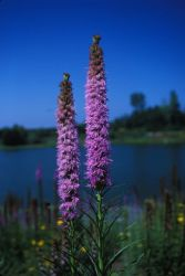 Kobold Spike Gayfeather (Liatris spicata) Photo