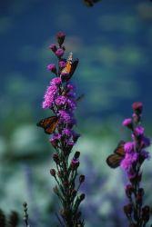 Monarch Butterflies on Dense Blazing Star Photo