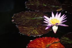 Waterlily (Nymphaeaceae) Photo