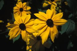 Blackeyed Susan (Rudbeckia hirta) Photo
