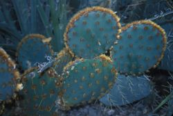 Golden Glochid Cactus (Opuntia aciculate) Photo