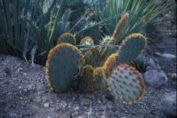 Golden Glochid Cactus (Opuntia aciculate) Photo