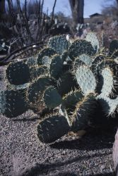 Engelmann's Prickly Pear (Opuntia engelmannii) Photo