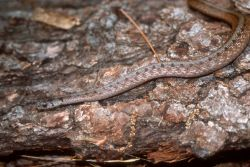 Brown Snake (Storeria dekayi dekayi) Photo
