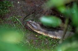 Northern Water Snake (Nerodia sipedon) Photo