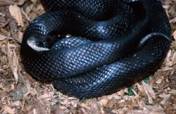Black Rat Snake (Elaphe obsoleta) Photo