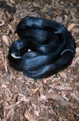 Black Rat Snake (Elaphe obsoleta) Photo