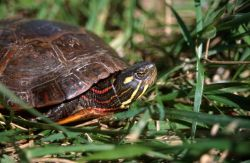 Painted Turtle (Chrysemys picta) Photo