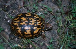 Eastern Box Turtle (Terrapene carolina) Photo
