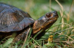 Wood Turtle (Glyptemys insculpta) Photo