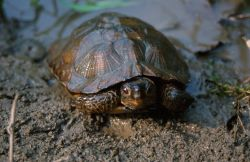 Wood Turtle (Glyptemys insculpta) Photo