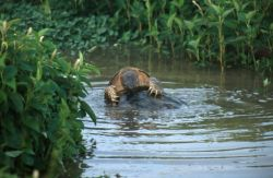 Snapping Turtle (Chelydra serpentina) Photo