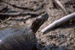 Red-eared Slider (Trachemys scripta elegans) Photo
