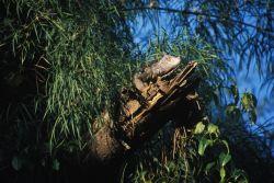 Mexican Spiny-tailed Iguana (Ctenosaura pectinata) Photo