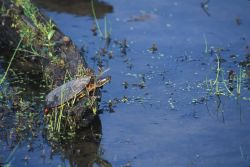 Eastern Painted Turtle (Chrysemys picta) Photo