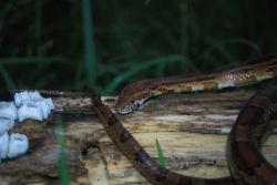Corn Snake (Elaphe guttata guttata) Photo