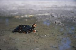 Spotted Turtle (Clemmys guttata) Photo