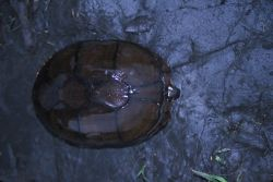 Eastern Mud Turtle (Kinosternon subrubrum) Photo