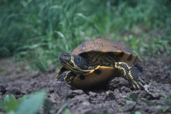 Yellow-bellied Slider (Trachemys scripta scripta) Photo