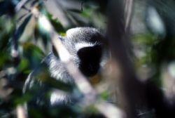 Vervet Monkey (Chlorocebus aethiops) Photo